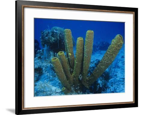 Yellow Tube Sponges, Aplysina Fistularis, Phylum Porifera, Caribbean-Christopher Crowley-Framed Art Print