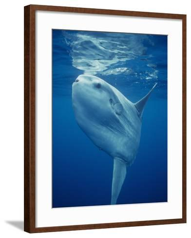Ocean Sunfish (Mola Mola), the World's Largest Bony Fish, Pacific Ocean, California, USA-Richard Herrmann-Framed Art Print