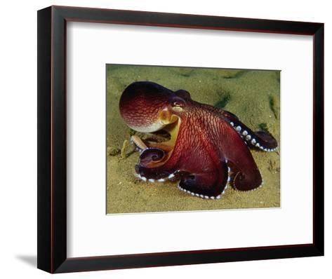 Warning Display of the Veined Octopus. (Octopus Marginatus) Indonesia-Mark Norman-Framed Art Print