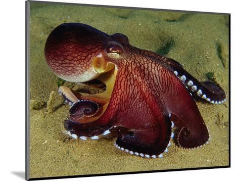 Warning Display of the Veined Octopus. (Octopus Marginatus) Indonesia-Mark Norman-Mounted Photographic Print