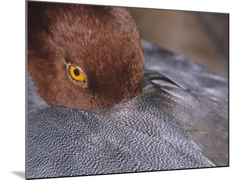 Close-Up of a Male Redhead Duck Head Resting, Aythya Americana, North America-Arthur Morris-Mounted Photographic Print