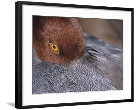 Close-Up of a Male Redhead Duck Head Resting, Aythya Americana, North America-Arthur Morris-Framed Art Print