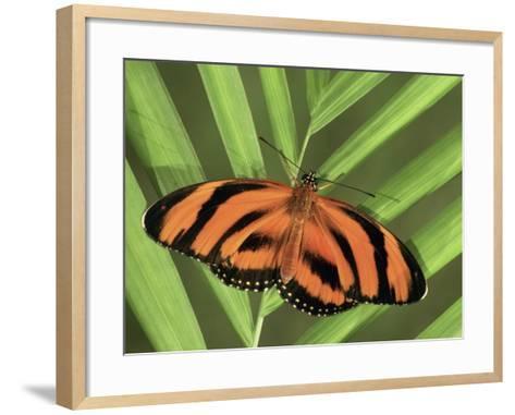 Banded Orange Heliconian Butterfly (Dryadula Phaetusa), Family Heliconiidae-Leroy Simon-Framed Art Print