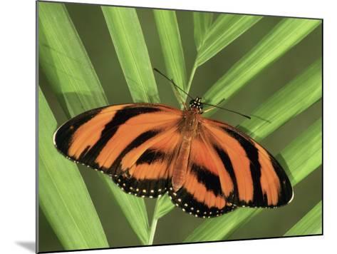 Banded Orange Heliconian Butterfly (Dryadula Phaetusa), Family Heliconiidae-Leroy Simon-Mounted Photographic Print
