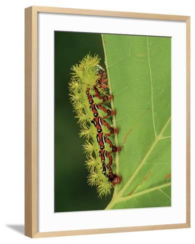 Saturniid Moth Larva or Caterpillar (Molippa Rosea), Family Saturniidae, Mexico-Leroy Simon-Framed Art Print