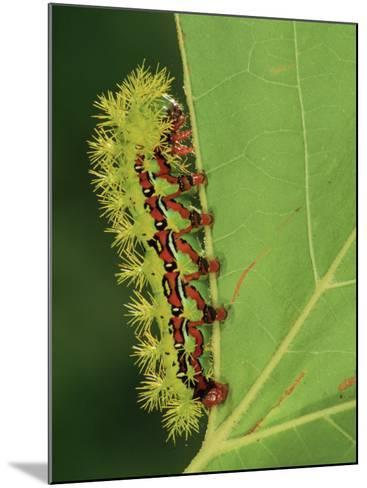 Saturniid Moth Larva or Caterpillar (Molippa Rosea), Family Saturniidae, Mexico-Leroy Simon-Mounted Photographic Print