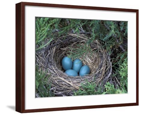 Robin Nest with Eggs, Turdus Migratorius, USA-David Cavagnaro-Framed Art Print