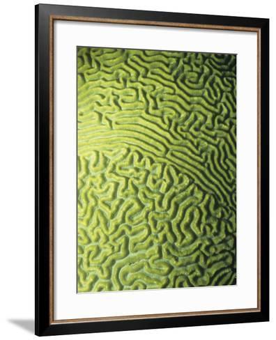 Symmetrical Brain Coral, Diploria Strigosa, with Zooanthellae or Symbiotic Algae, Belize, Caribbean-James Beveridge-Framed Art Print