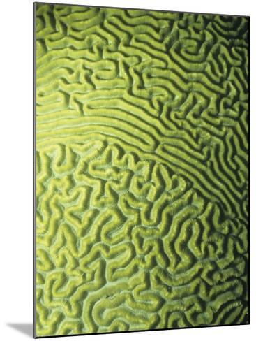 Symmetrical Brain Coral, Diploria Strigosa, with Zooanthellae or Symbiotic Algae, Belize, Caribbean-James Beveridge-Mounted Photographic Print