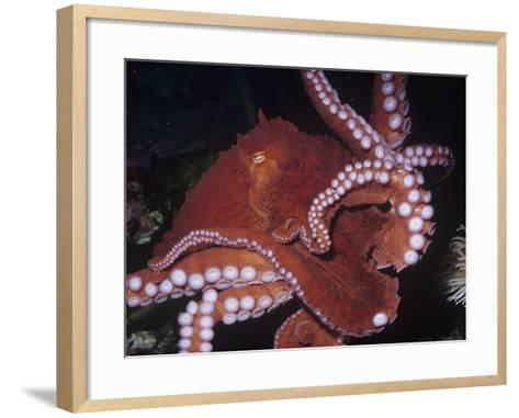 Giant Pacific Octopus Showing Suckers on its Arms, Alaska to California, Usa-Ken Lucas-Framed Art Print