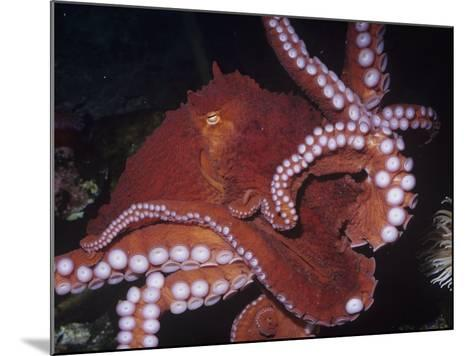 Giant Pacific Octopus Showing Suckers on its Arms, Alaska to California, Usa-Ken Lucas-Mounted Photographic Print