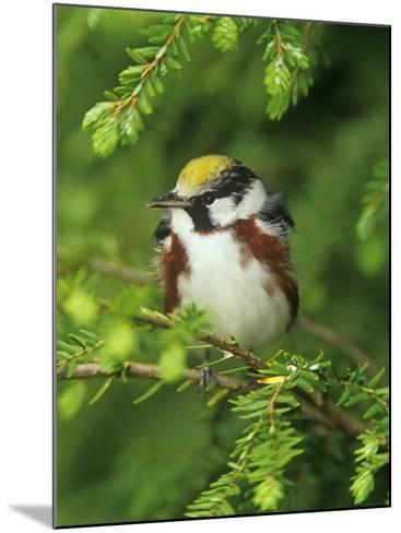 Male Chestnut-Sided Warbler in Breeding Plumage, Dendoica Pennsylvanica, . USA-Adam Jones-Mounted Photographic Print