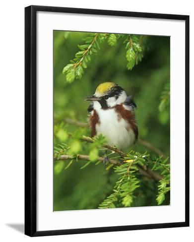 Male Chestnut-Sided Warbler in Breeding Plumage, Dendoica Pennsylvanica, . USA-Adam Jones-Framed Art Print