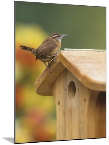 Carolina Wren at its Nest Box or Bird House (Thryothorus Ludovicianus), Eastern USA-Steve Maslowski-Mounted Photographic Print