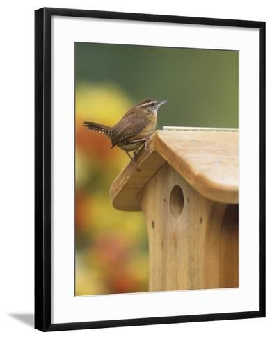 Carolina Wren at its Nest Box or Bird House (Thryothorus Ludovicianus), Eastern USA-Steve Maslowski-Framed Art Print