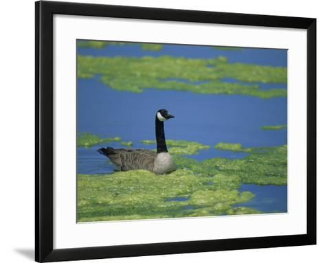 Canada Goose in a Eutrophic Pond, Branta Canadensis, North America-John & Barbara Gerlach-Framed Art Print
