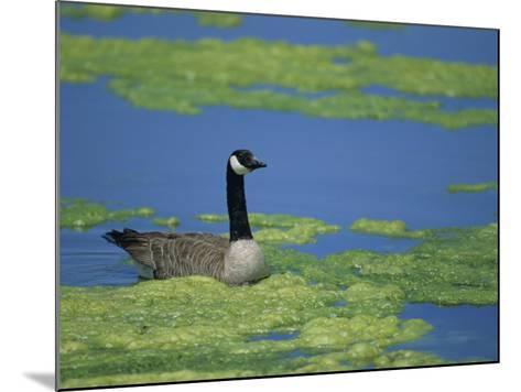 Canada Goose in a Eutrophic Pond, Branta Canadensis, North America-John & Barbara Gerlach-Mounted Photographic Print