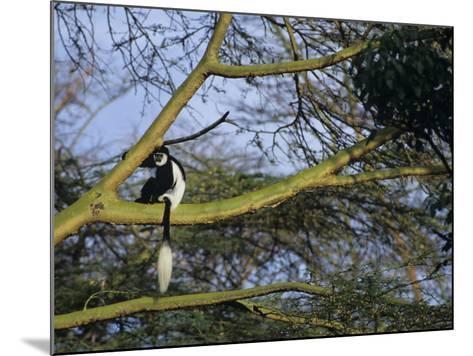 Black and White Colobus Monkey, Colobus Angolensis, Nakuru National Park, Kenya, Africa-Joe & Mary Ann McDonald-Mounted Photographic Print