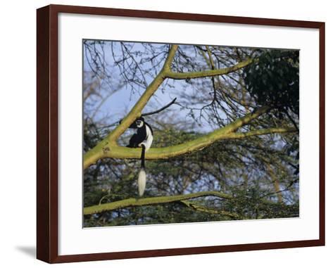 Black and White Colobus Monkey, Colobus Angolensis, Nakuru National Park, Kenya, Africa-Joe & Mary Ann McDonald-Framed Art Print