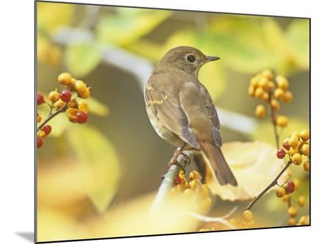 Hermit Thrush (Catharus Guttatus), the State Bird of Vermont, USA-Steve Maslowski-Mounted Photographic Print