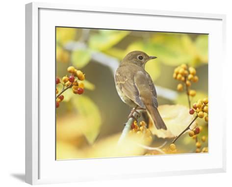 Hermit Thrush (Catharus Guttatus), the State Bird of Vermont, USA-Steve Maslowski-Framed Art Print