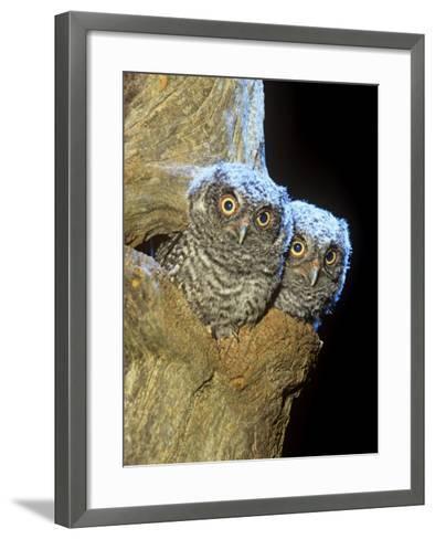 Eastern Screech Owl Young or Owlets in a Tree Hollow (Otus Asio), Eastern North America-Steve Maslowski-Framed Art Print