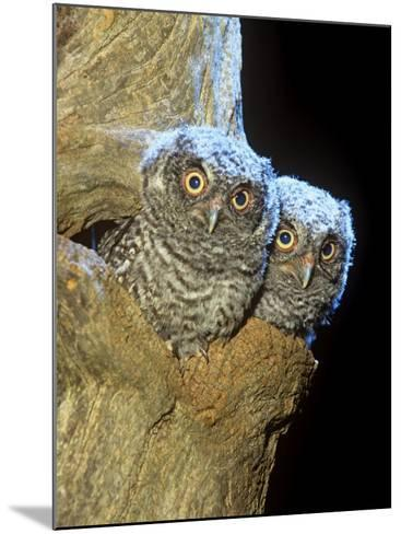 Eastern Screech Owl Young or Owlets in a Tree Hollow (Otus Asio), Eastern North America-Steve Maslowski-Mounted Photographic Print