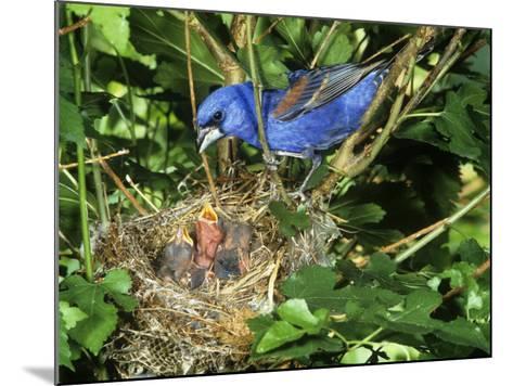 Male Blue Grosbeak (Guiraca Caerulea) at its Nest, Kentucky, USA-Steve Maslowski-Mounted Photographic Print