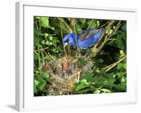 Male Blue Grosbeak (Guiraca Caerulea) at its Nest, Kentucky, USA-Steve Maslowski-Framed Art Print