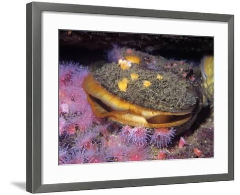 Rock Scallop (Hinnites Giganteus), Pacific Coast of North America-Ken Lucas-Framed Art Print