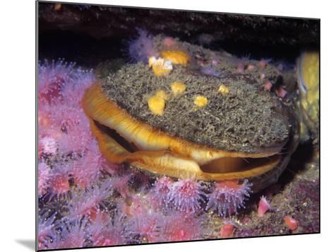 Rock Scallop (Hinnites Giganteus), Pacific Coast of North America-Ken Lucas-Mounted Photographic Print