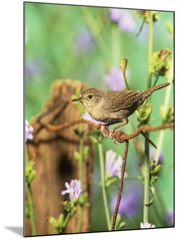 House Wren (Troglodytes Aedon), Eastern North America-Steve Maslowski-Mounted Photographic Print