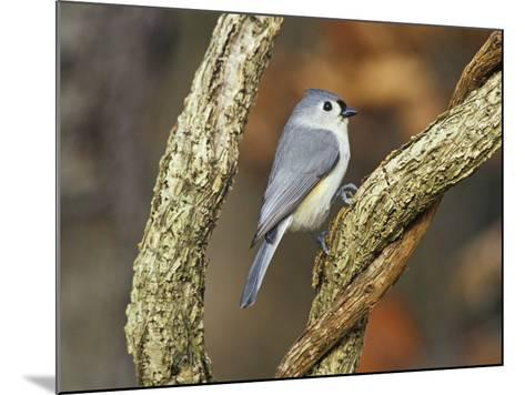 Tufted Titmouse (Baeolophus Bicolor), Eastern North America-Steve Maslowski-Mounted Photographic Print