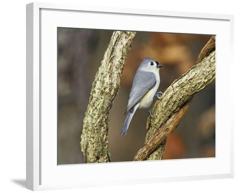 Tufted Titmouse (Baeolophus Bicolor), Eastern North America-Steve Maslowski-Framed Art Print