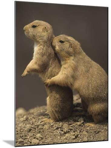 Black-Tailed Prairie Dogs, Cynomys Ludovicianus, Western North America-Adam Jones-Mounted Photographic Print