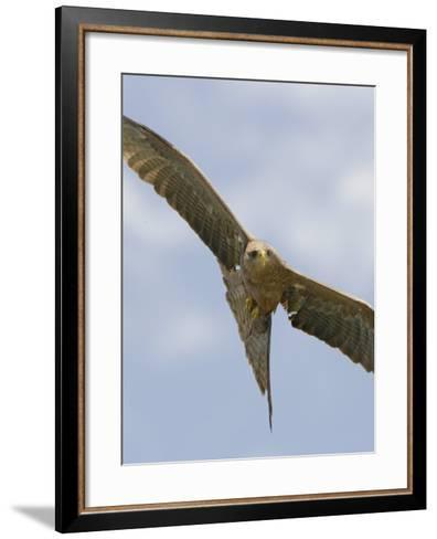 Yellow-Billed Kite in Flight, Milvus Aegyptius, Ngorongoro Crater, Tanzania, Africa-Arthur Morris-Framed Art Print