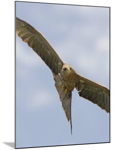 Yellow-Billed Kite in Flight, Milvus Aegyptius, Ngorongoro Crater, Tanzania, Africa-Arthur Morris-Mounted Photographic Print