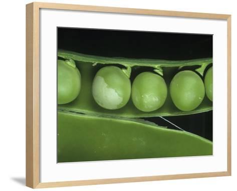 Pea Thrip (Kakothrips Pisivorus) Damage to Peas in the Pod (Pisum Sativum). England, Uk-Nigel Cattlin-Framed Art Print