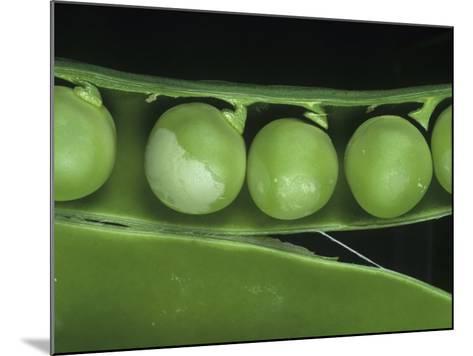 Pea Thrip (Kakothrips Pisivorus) Damage to Peas in the Pod (Pisum Sativum). England, Uk-Nigel Cattlin-Mounted Photographic Print