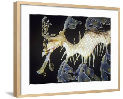 Leafy Sea Dragon (Phycodurus Eques), Southern Australia Reefs-Ken Lucas-Framed Art Print