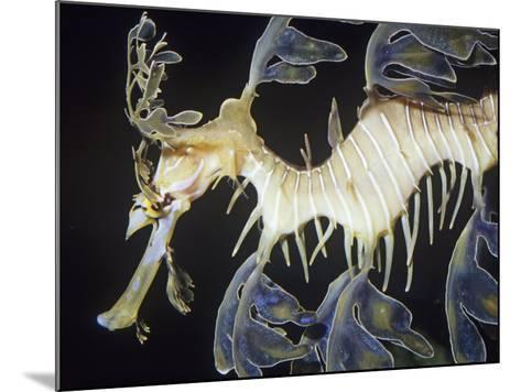 Leafy Sea Dragon (Phycodurus Eques), Southern Australia Reefs-Ken Lucas-Mounted Photographic Print