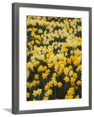 Pattern of Narcissus Flowers, Narcissus Pseudonarcissus, Louisville, Kentucky, USA-Adam Jones-Framed Art Print