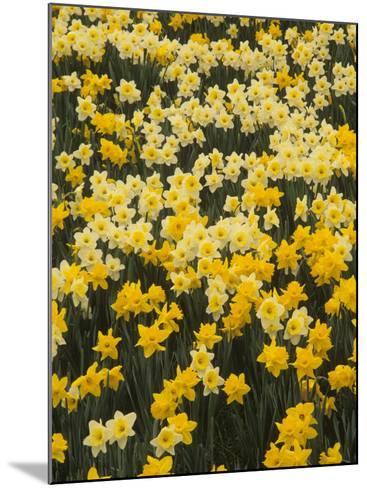 Pattern of Narcissus Flowers, Narcissus Pseudonarcissus, Louisville, Kentucky, USA-Adam Jones-Mounted Photographic Print