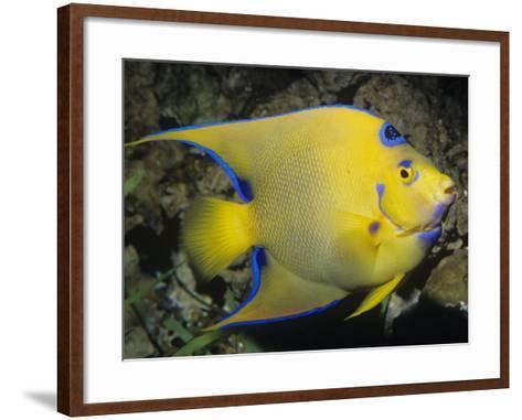 Queen Angelfish, Bermuda to Brazil-Ken Lucas-Framed Art Print