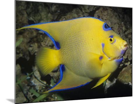 Queen Angelfish, Bermuda to Brazil-Ken Lucas-Mounted Photographic Print