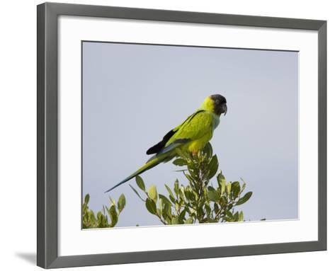 Black-Hooded Parakeet, Nandayus Nenday, an Introduced Species into South Florida, USA-John Cornell-Framed Art Print