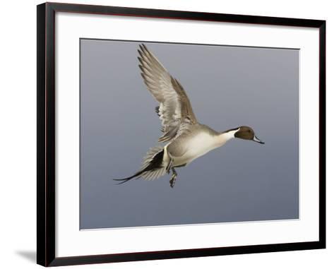 Northern Pintail, Anas Acuta, Male in Flight, North America-John Cornell-Framed Art Print