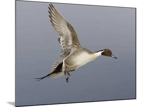 Northern Pintail, Anas Acuta, Male in Flight, North America-John Cornell-Mounted Photographic Print
