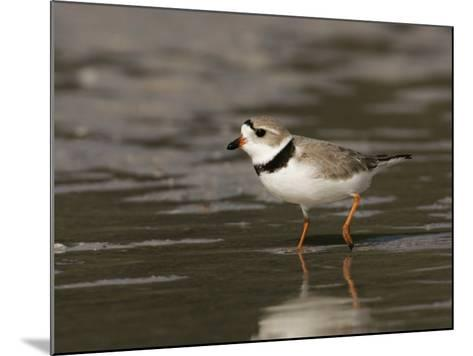 Piping Plover, Charadrius Melodus, an Endangered Species, North America-John Cornell-Mounted Photographic Print