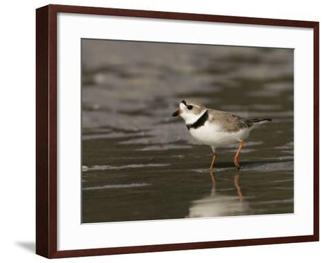 Piping Plover, Charadrius Melodus, an Endangered Species, North America-John Cornell-Framed Art Print